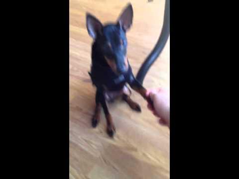 Manchester terrier tricks