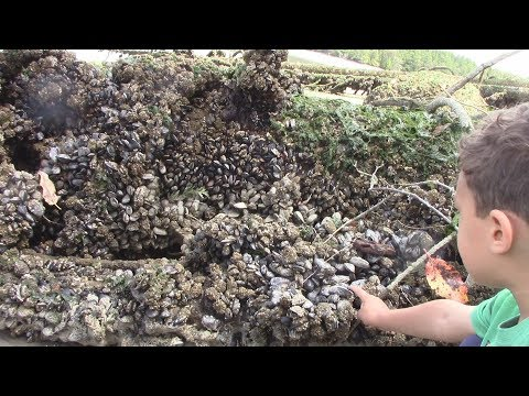 WA (Shell)fish Quest EP 42: Blue Mussels