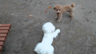ビションフリーゼとトイプードルの戦いです♪Bichon Frise, toy poodle, ...