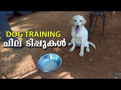 Dog Training    l labrador dog l Dog farming kerala