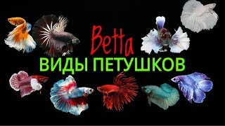 Виды петушков.Betta.