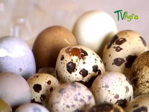 How to Breed Quails - TvAgro por Juan Gonzalo Angel