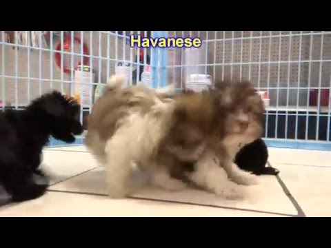Havanese, Puppies, Dogs, For Sale, In Albany, County, Georgia, GA, Alpharetta, Marietta