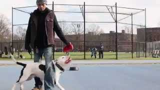 Practice Makes Perfect Dog Training Ny: Cowboy The Pit Bull Training Canon T4i
