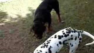 Dalmatian Vs Rottweiler