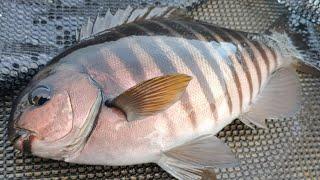 Land based fishing for Zebrafish in Portland | Victoria | Australia
