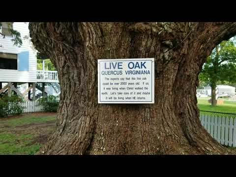 WillowTree RV Resort, Part 2,  Longs, SC, 2000 Year Old Oak Tree