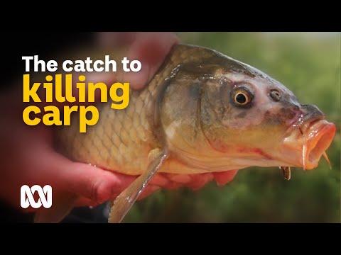 Battling To Eliminate Carp From Australian Waterways 🐟   Meet The Ferals Ep 9   ABC Australia