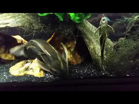 My Striped Raphael Is Getting Too Big For It's Cave