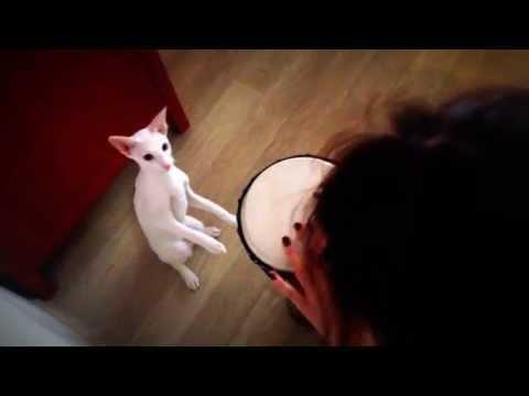 Cat Odry playnig on drum – Funny cat. Oriental cat. Ориентальная кошка. Орик