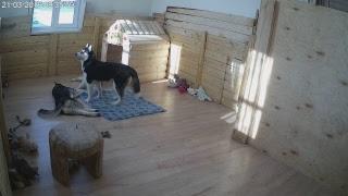 Хасята онлайн. Яника и разноцветное счастье.Husky Puppies LiveCam. Yanika and Colors of Happiness