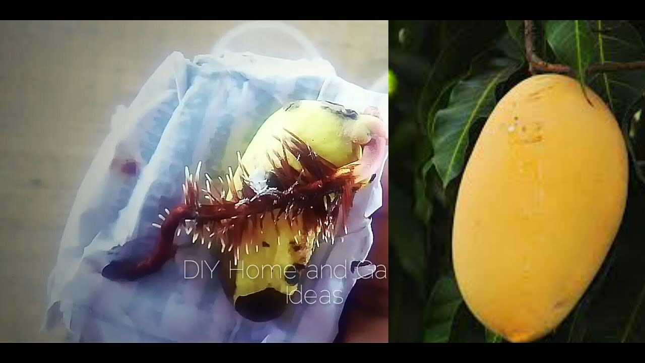 how to grow a mango tree from seed pdf