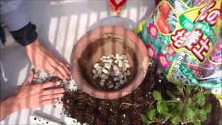 ハイビスカスの植え替え方法、育て方 thumbnail