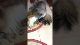 Кот с пленкой
