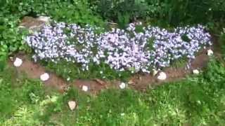 Blue Creeping Phlox: An excellent full sun groundcover and showy spring flower