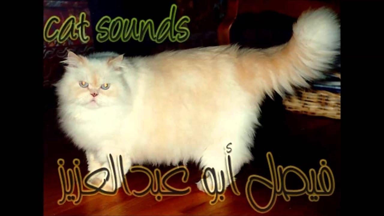 Cat Sounds صوت القطط Youtube