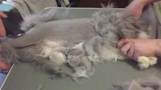 видео Как правильно подстричь длинношерстную породу кошек?