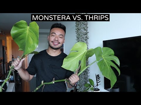 Houseplant Update | Saving My Monstera From Thrips