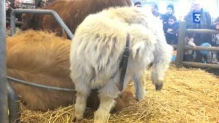 SIA 2016 : La Highland Cattle du Jura, 100% écossaise