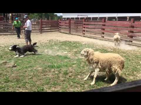 Bearded Collie Puppy Herding Instinct Test