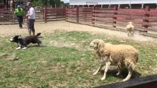 Bearded Collie Puppy Herding Instinct Test
