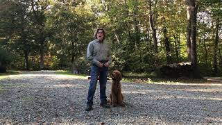 Standard Poodle Puppy Training Hendersonville  NC  Amos Moses