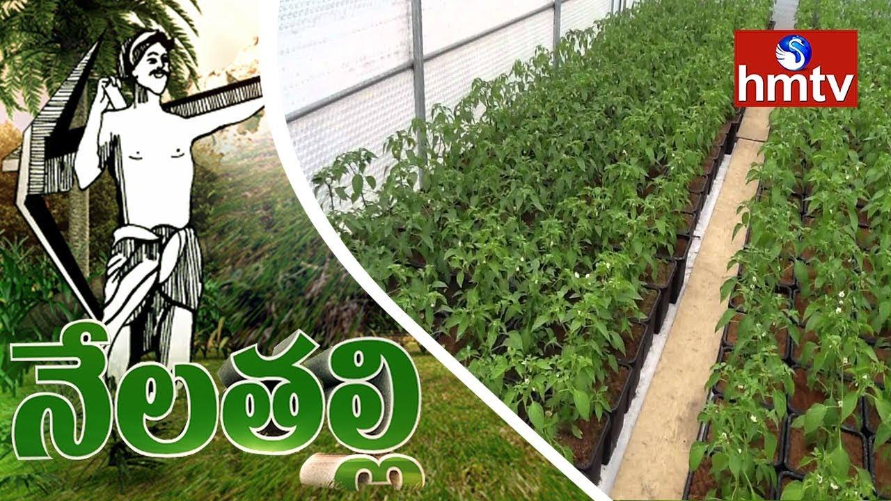 Warangal Farmers Show Interest On Nursery Chilli Plants Farming | Nela Tali  | hmtv