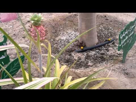 إنتاج الأناناس - Gulf Plants