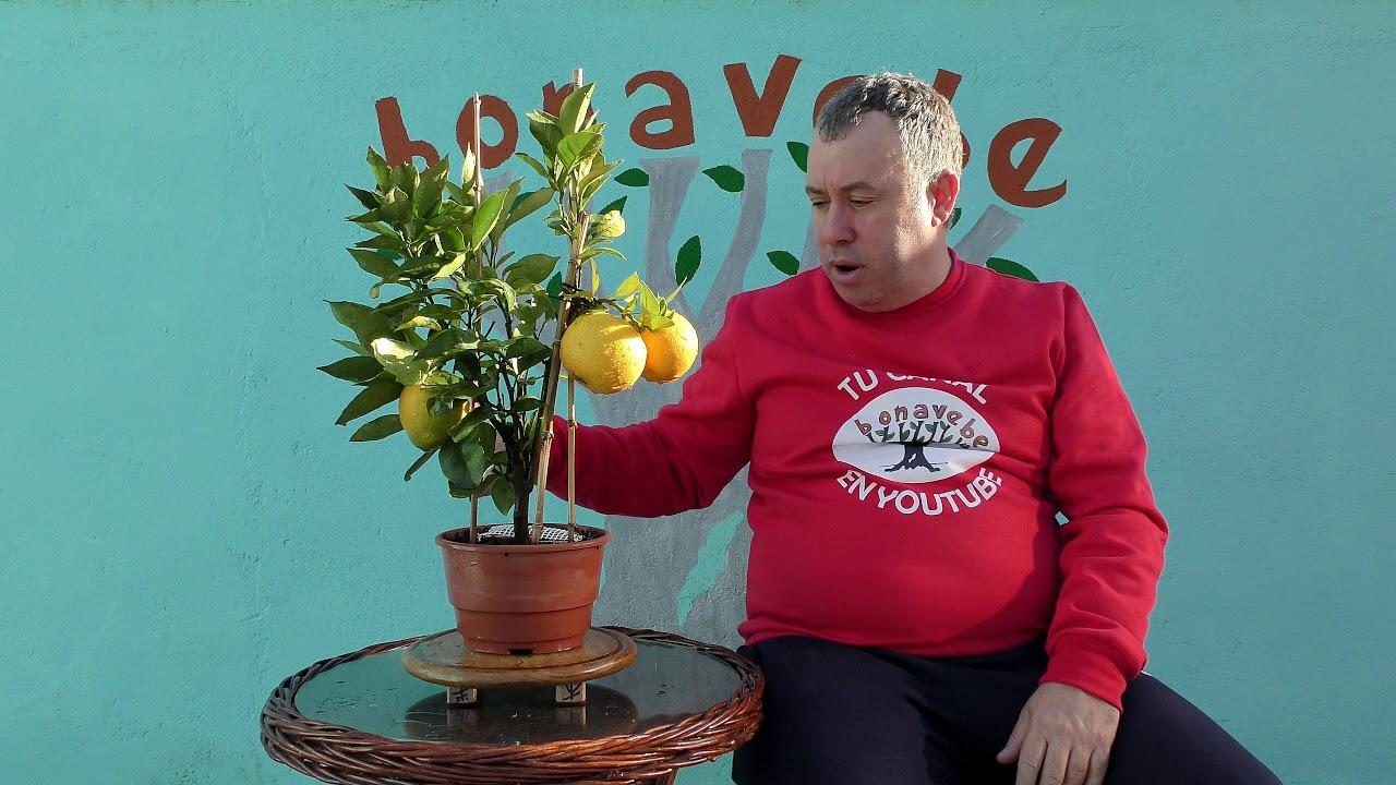 Naranjo En Maceta Con Naranjas Diciembre 2017 Youtube