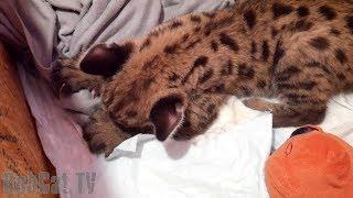 Котёнок пумы мурлыкает