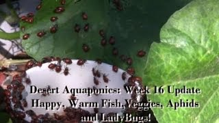 Desert Aquaponics--Fish Tank Heater, Aphids, LadyBugs and Veggie Growth!