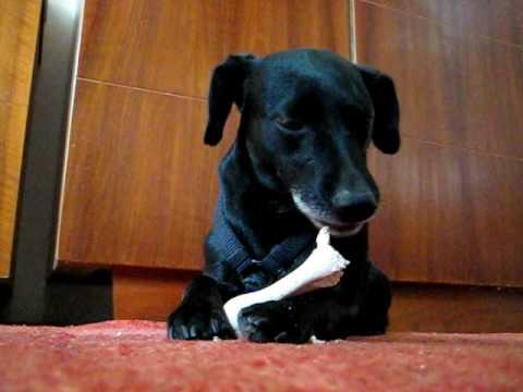 Dog eating a 'bone'