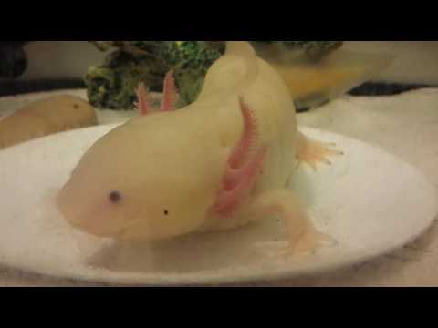 HOW TO Feed your Axolotl Dubia Roaches!