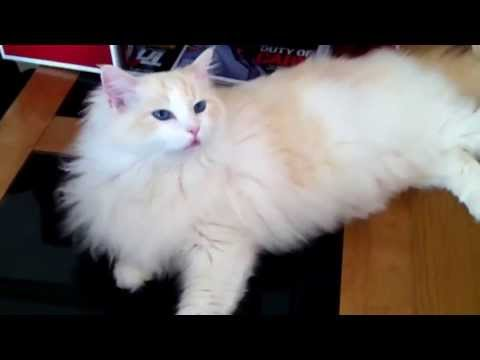 Happy Talking Ragdoll Cat
