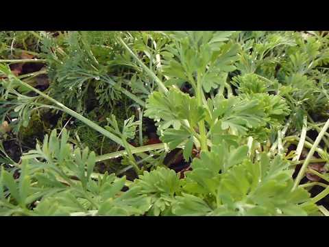 California Poppy - Kaliforníuvalmúi - Gullbrúða - Sumarblóm