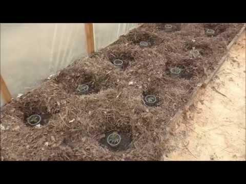 Защита рассады помидоров (томатов) от вредителей в теплице