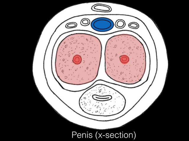 muzică care induce o erecție cele mai mici penisuri la bărbați
