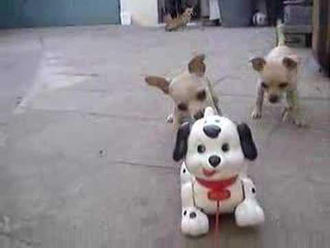 Chihuahua Family VS Toy Dog