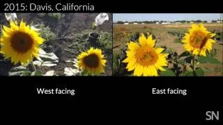 Young sunflowers follow the sun's rays | Science News
