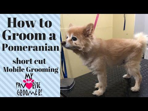 How to Groom a Pomeranian