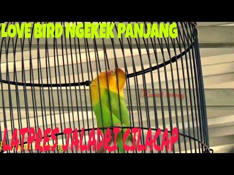 LOVE BIRD NGEKEK PANJANG    LATPRES JALADRI