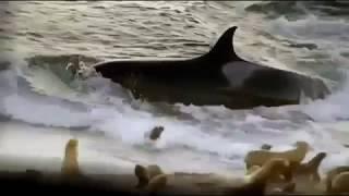 Касатка едва не съела собаку, нападение касатки у берега