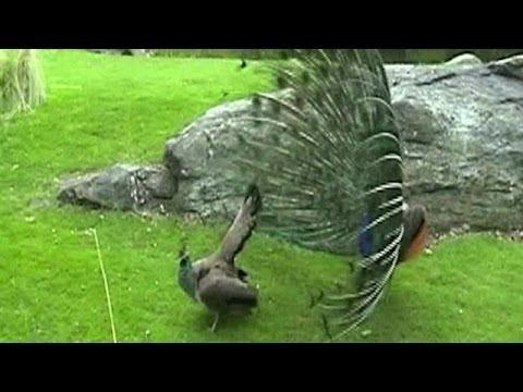 Vea y escuche el sonido sexual del pavo real