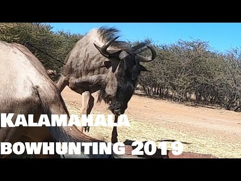 Kalamahala Bowhunting, South Africa, Day 1 (Blue Wildebeest And Warthog)
