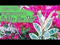 How To Propagate A Rubber Tree Plant (Ficus Elastica) By Air Layering / Joy Us Garden