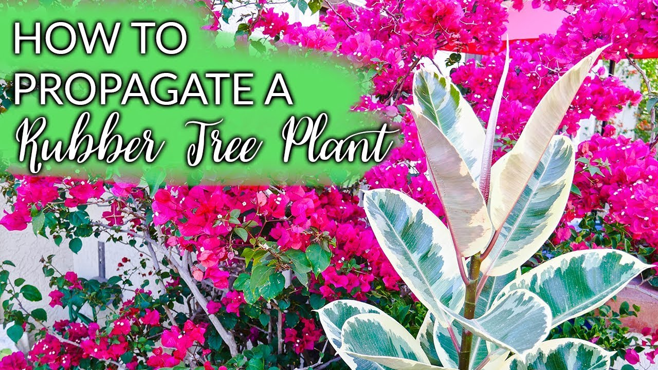 How To Propagate A Rubber Tree Plant (Ficus Elastica) By Air Layering / Joy Us Garden - YouTube