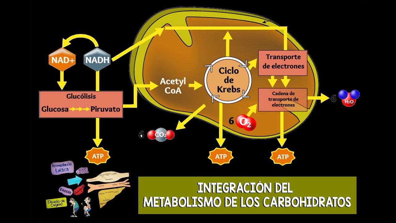 INTEGRACIÓN DEL METABOLISMO DE LOS CARBOHIDRATOS..