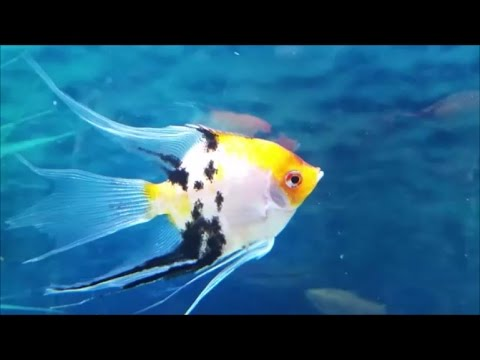 Angelfish compatible tank mates what fish can you have with angelfish youtube for Fish compatible with angelfish