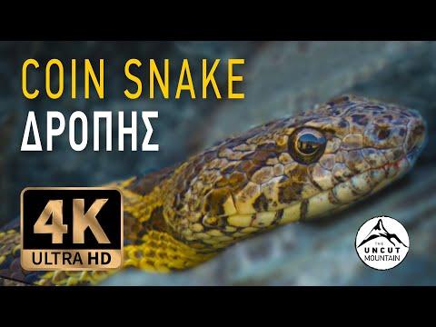 Coin Snake of Cyprus in 4K (Hemorrhois nummifer)