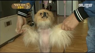 A pomeranian that can